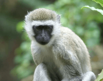 A photo of a vervet monkey.