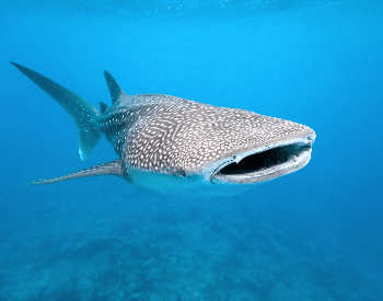 A photo of a whale shark.
