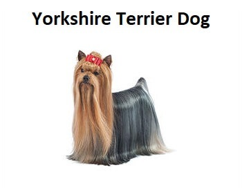 A photo of a Yorkshire Terrier Dog.