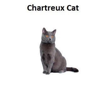 A photo of a Chartreux Cat breed.