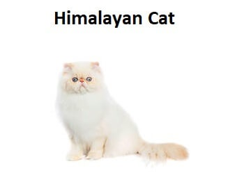 A photo of a Himalayan Cat breed.