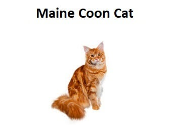 A photo of a Maine Coon Cat breed.