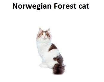 A photo of a Norwegian Forest Cat breed.