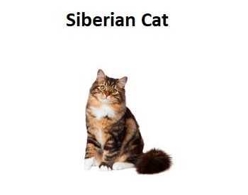 A photo of a Siberian Cat breed.