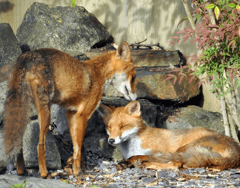 A photo of two foxes.