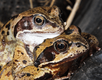 A photo of two frogs mating.