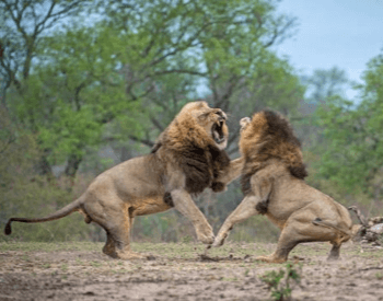 A photo of two male lions fighting.