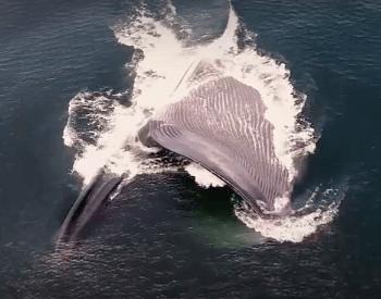 A photo of a blue whale feeding.