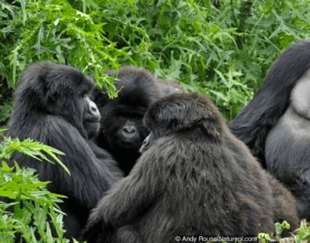 A photo of a group of gorillas.