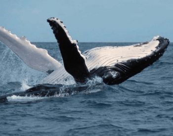 A photo of a humpback whale breaching.