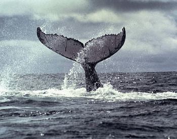 A photo of a humpback whale's tail.