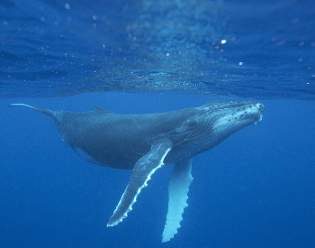 A photo of a humpback whale underwater.