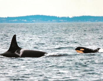 A photo of a killer whale and a calf.