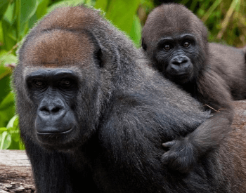 A photo of a mother and baby gorilla.