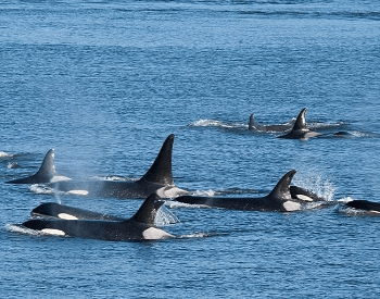 A photo of a pod of orcas (killer whales).