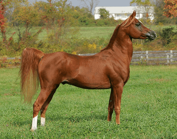 A picture of a Arabian horse.