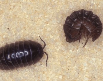 A picture of a pill bug (Armadillidium vulgare) rolled and unrolled