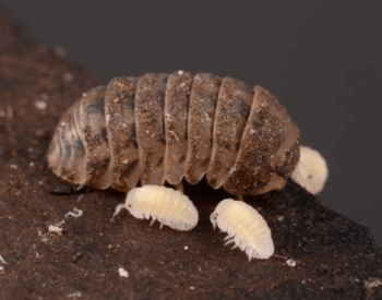 A picture of a pill bug (Armadillidium vulgare) with its young