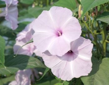 A picture of a pink morning glory flower