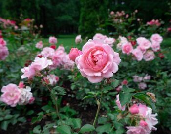 A picture of pink rose flower