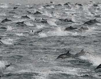 A picture of a large pod of dolphins