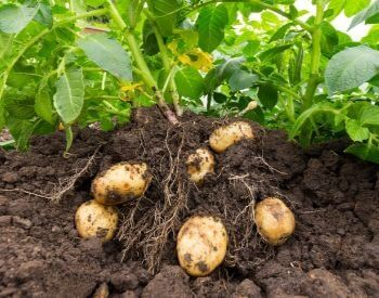 A picture of a potato root vegetable in soil