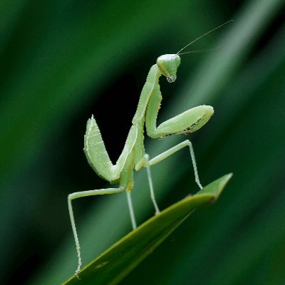 A Picture of a Praying Mantis
