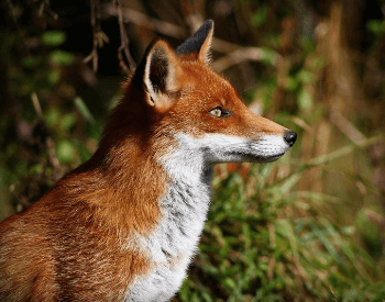 A profile shot of a fox.