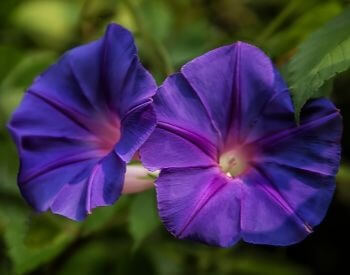 A picture of purple morning glory flower