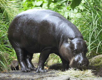 A picture of a an adult pygmy hippopotamus (Choeropsis liberiensis)