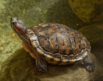 A picture of the red-eared slider turtle (Trachemys scripta elegans)