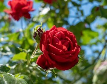 A picture of a red rose flower