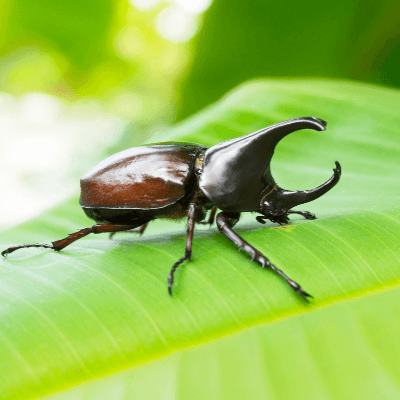 A Picture of a Rhinoceros Beetle