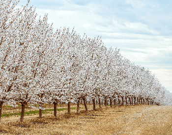 A picture of a long row of blooming almond trees