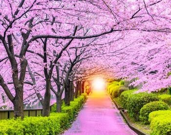 A picture of a row of blooming cherry blossom trees
