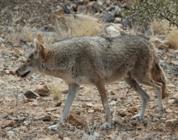 A picture of a coyote licking its nose
