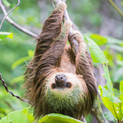 A Picture of a Sloth