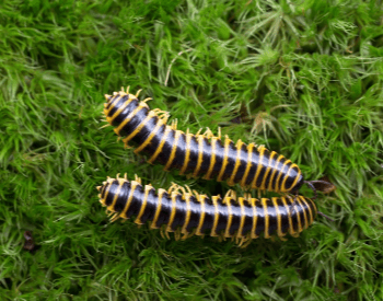 A picture of the apheloria-whiteheadi millipede