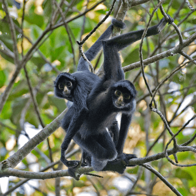 A Picture of a Spider Monkey