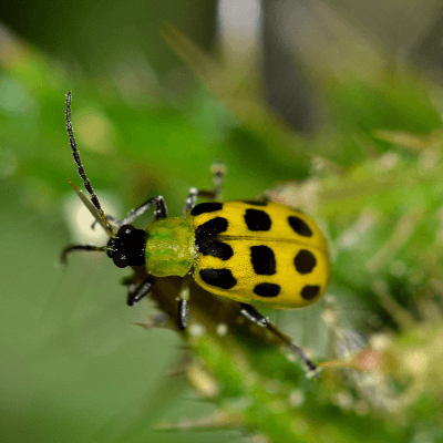 A Picture of a Beetle