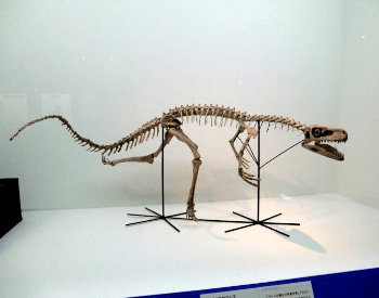 A photo of a staurikosaurus fossil, a dinosaur that lived during the Late Triassic Period