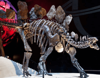 A photo of a Stegosaurus fossil, a dinosaur that lived during the Late Jurassic Period