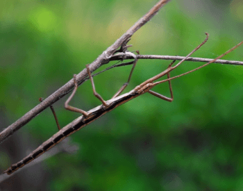 A picture of a stick bug (Anisomorpha buprestoides)