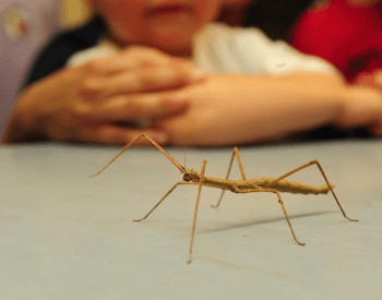 A picture of a stick bug walking on a large table