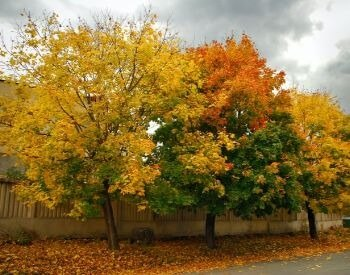 A picture of a sugar maple tree during the autumn months
