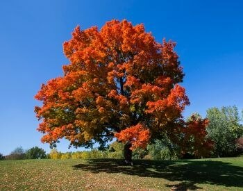A picture of a sugar maple tree in the middle of a field