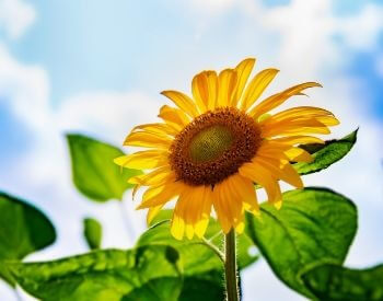 A picture of a sunflower