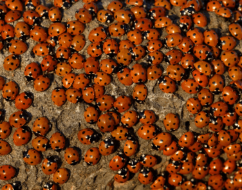 A photo of a swarm of ladybugs