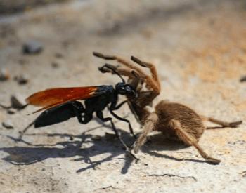 A tarantula hawk wasp fighting with a tarantula