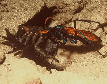 A photo of a tarantula hawk wasp with a tarantula